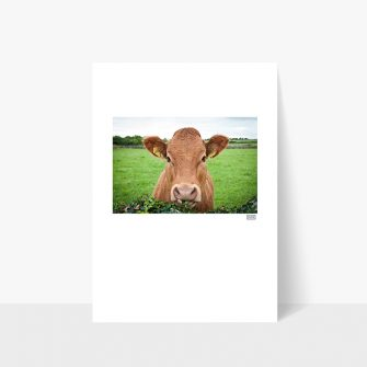 Irish Cow Print, Siar Photography